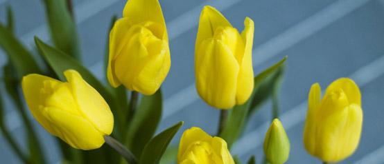 tulipany01